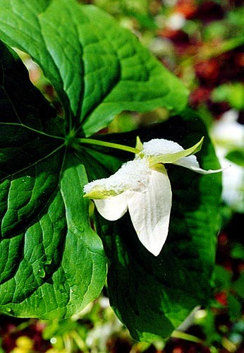 Spring Wildflowers (White Trillium) in the Tennessee Appalachians